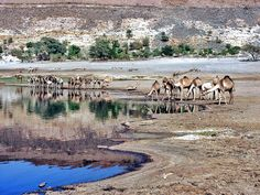 Camels watering at Malha crater, Darfur  جمال يستقون عند فوهة المالحة، دارفور http://flic.kr/p/4r3rL   #sudan #almalha #crater