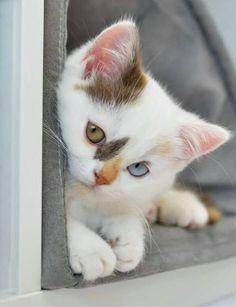 Cute kitten w/ heterochromia (different colors in its eyes)