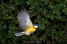 Bird in Flight, Switzerland. High Speed Photographic Technique