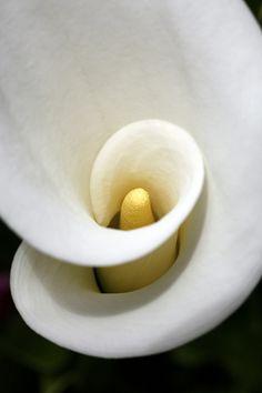 Arum lily at Rosemoor