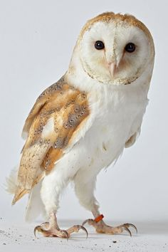 Inch Print - High quality prints (other products available) - Barn owl (Tyto alba) in studio - Image supplied by Fine Art Storehouse - Photograph printed in the USA Tyto Alba, Plains Background, Stock Foto, Fine Art Prints, Canvas Prints, Fauna, Predator, Pet Birds, Poster Size Prints