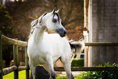 EKS Secret Obsession  Abha Qebec x MSA Veroniqa by Versace) grey mare bred by Elkasun Arabian Stud, South Africa