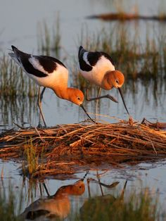 American Avocets Photograph by Brian Wolitski