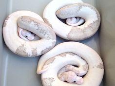 Pastel Grey Matter - Morph List - World of Ball Pythons champagne super cinnamon pastel