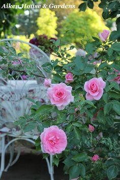 Bienvenue dans mon jardin on pinterest climbing roses for Bienvenue dans mon jardin