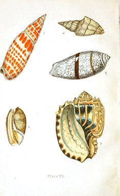 Animal - Sea shell - Beautiful shells 3