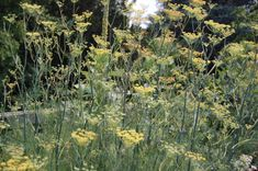 Fennel is easy to grow from seed and has been used since ancient times.