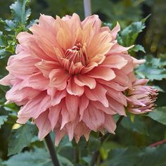 Dividing and planting how-to | We've got an easy step by step for great-looking dahlias next year!