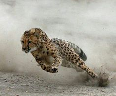 A cheetah, the fastest animal, seen running. Cheetahs have been clocked at 110 miles/hour. They have solid black spots and black tear marks, looking like tears running down from their eyes.