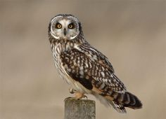 owls pictures | Short-eared Owl on Post | the Internet Bird Collection