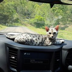 #cats  #catwalk  #catoftheday  #catsdaily  #catlover  #catlady  #catofinstagram  #bengal  #bengals  #cat #catsofig  #bengalcat  #bengalcatsofinstagram  #bengalcatworld  #catstagram  #catsrequest  #catsinstagram  #catofinstagram  #catsworld  #feline  #kitten  #kittens #bengalkitten #meow #кот #безкотаижизньнета #кошка  #caturday #whiskas #friskies #iams