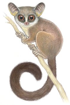 This is the mountain dwarf galago! Also called Amani dwarf galagos and Uluguru bushbabies, they are endemic to the Eastern Arc Mountains of Kenya and Tanzania; one of the most at-risk ecosystems in the world. The fragility and fragmentation of their ecosystem place them in considerable peril. One of the world's most at-risk primates; populations are decreasing. Vulnerable to extinction. Illustration: ©Stephen D. Nash/IUCN SSC Primate Specialist Group. Used with permission. Read their story! Tanzania, Kenya, Forest Habitat, Sleeping Alone, Dry Leaf, Chimpanzee, Primates, Ecology, Predator