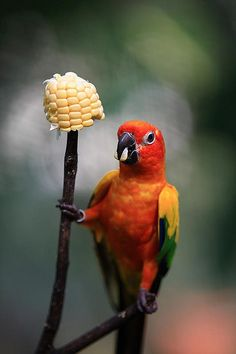 so cute ... sun conure eating corn