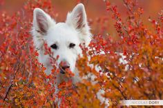 White german shepherd in the fall. :)