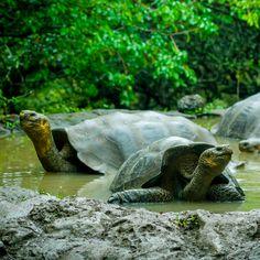 La abundante fauna, tanto marina como terrestre, atrae al turismo ecológico a las ecuatorianas islas Galápagos. Explórela a pie o en una lancha. #travel #ecuador #galapagos #gopro #cuenca #southamerica #allyouneedisecuador #lovelife #ocean #blue #primeroecuador #paradise #wildlife #mountains #robertoochoahe #montañita #salinas #quito #guayaquil #loja #manta #galapagosislands #visit #diveinecuador