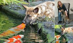 Dutch Shepherd dog sparks bizarre friendship with giant goldfish... and loves to give them a lick
