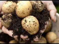 """La Patate, pomme de terre cultivée dans le jardin, méthode de culture explications de"""" Jean"""" - YouTube"""