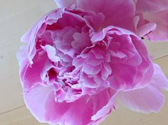 Pioni Rose, Flowers, Plants, Pink, Plant, Roses, Royal Icing Flowers, Flower, Florals