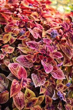 Coleus Plants: Varieties, Care & Growing Them - This Old House Potted Plants Patio, House Plants, Coleus Care, Endless Summer Hydrangea, White Flower Farm, Yellow Leaves, Potting Soil, Begonia, Propagation