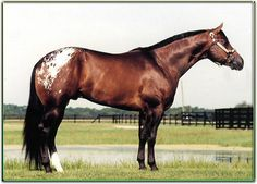 The Secret - Appaloosa Stallion. CR - STALLIONS