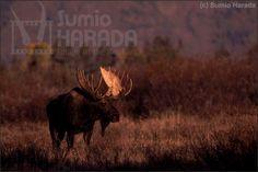 ムース(ヘラジカ)  /  Moose