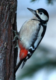 Great Spotted Woodpecker (MUCH cuter than Woody Woodpecker!)