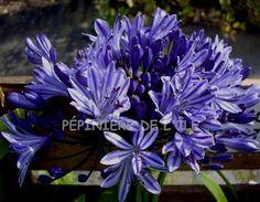Agapanthus bluety