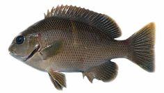 Girella mezina - black fish, rudder fish 冧蚌