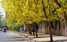 https://flic.kr/p/9K9fHe   Sona Jhuri   The streets of Dwarka, New Delhi are now bright shinning with yellow flowers of Sona Chura trees lined across the streets. The bright yellow colors stay only for few day before giving way to green leaves and truly a treat for the eyes.  Common name: Amaltas, Golden shower tree, Indian Laburnum • Hindi: अमलतास Amaltas • Manipuri: চহুঈ Chahui • Tamil: கொன்றை Konrai • Malayalam: Vishu konnai • Marathi: बहावा Bahava • Mizo: Ngaingaw • Bengali: সোনালী…