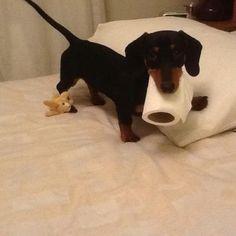 Stealing this must be a genetic thing with Dachshund's! ♥ #dauchshund #dauchshunds #weenier #weeniers #weenie #weenies #hot #dog #hotdogs #doxies ♥ #Doxie Darlin', LOVE