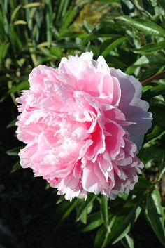 Paeonia lactiflora 'Shirley Temple' Paeonia Lactiflora, Temple, Roses, Flowers, Plants, Peonies, Lily, Pictures, Pink
