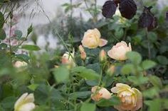 Bildresultat för rosor