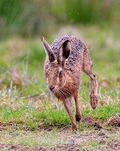 Brown Hare Running Rabbit Run, Wild Rabbit, Jack Rabbit, Pet Rabbit, Cute Baby Animals, Animals And Pets, Hare Pictures, Hare Animal, Running Art