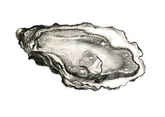 oyster drawing - Google Search