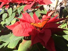 Linda a borboleta e a flor bico de papagaio, fotógrafa Jane Cleusa.