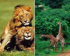 BIOLOGIA: Homosexualidad Animal