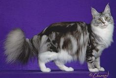 Silver Tabby with white Maine Coon
