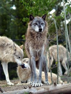 River Valley Wolf Pack by ~FullofSecrets on deviantART