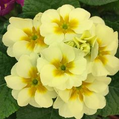 Primrose (Primula vulgaris) is the birth flower of the month for February. Other common names are English Primrose or Common Primrose.It is a very common gift plant widely available in the winter months of January - February at garden centers and grocery stores. I find them very hard to resist. I have never tried to plant and grow in the garden. I enjoy them indoors as a houseplant until the blooms fade and replace with my next monthly favorite. They do not lend themselves to being grown as…