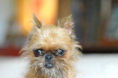brussels griffin - hahaha...my next dog lol, little ewok!