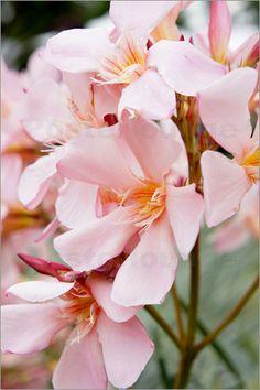 Oleander....seen growing along South Carolina's beautiful beaches....