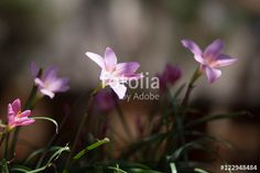 Pink Flowers - Buy this stock photo and explore similar images at Adobe Stock Pink Flowers, Adobe, Stock Photos, Explore, Plants, Image, Cob Loaf, Exploring, Planters