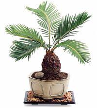 Sago Palm Bonsai Gift Plant in Ceramic Planter Bonsai Palm Tree, Ginko Tree, Ikebana, Art Floral, Palm Garden, Sago Palm, Mame Bonsai, Little Gardens, Miniature Trees