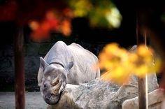 Dans le même zoo, un rhinocéros noir du nom de Jasmin se frotte sur un rocher de son enclos. Photo  Slavek Ruta / REX Features / SIPA