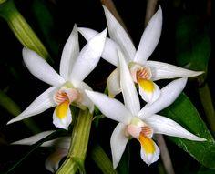 Dendrobium sutepense