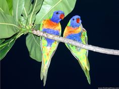 Rainbow Bird Birds Animals Background Wallpapers on Desktop
