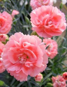 "Pinks 'Scent First Romance'. Dianthus gratianopolitanus. 9"" tall. Blooms May-June and rev looms in fall."