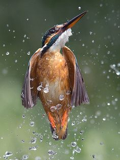 European Kingfisher. Photo by Jamie Macarthur