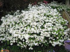 Image result for del val white azalea