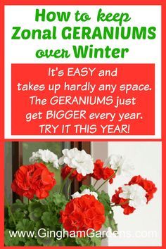 Learn how to keep geraniums over winter, or overwinter zonal geraniums without a sunny window. Plus, get the printable directions of how to wake them up again in the spring. It's easy, it's frugal and it takes up no space. Plus get other tips for propagating geraniums from cuttings and how to overwinter geraniums in a paper bag. #frugalgardeningtips #plantpropagation